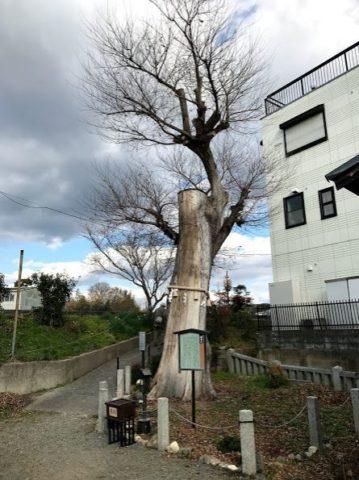 阿久刀神社のムクノキ