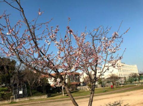 今城塚古墳の桜