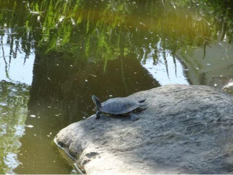 城跡公園の亀