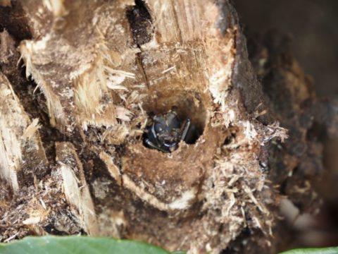 大王の杜の倒れた木のカミキリムシ