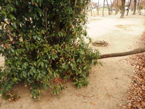 大王の杜の倒れた木
