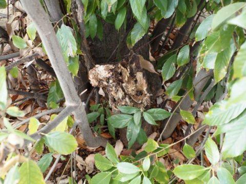 大王の杜の倒れた木の根元