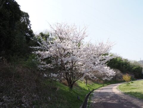 あくあぴあ芥川の桜