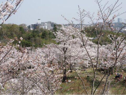 桜広場の桜