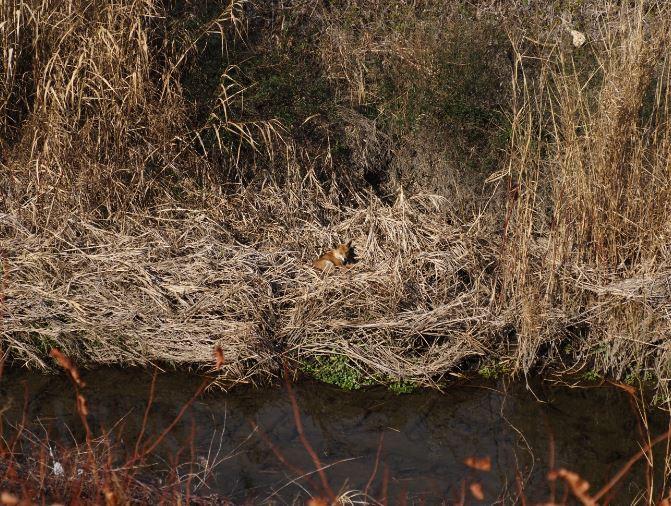 女瀬川のキツネ